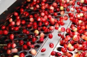 Receiving & Sorting Cranberries