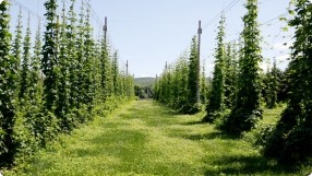 Growing & Harvesting Hops