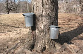 The Art of Making Maple Syrup