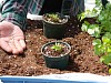 Planting & Growing Cilantro
