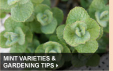 Mint Varieties & Gardening Tips