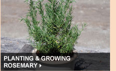 Planting & Growing Rosemary